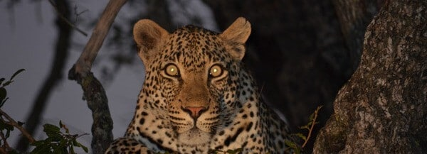 leopard-on-night-drive-safari-Copy1