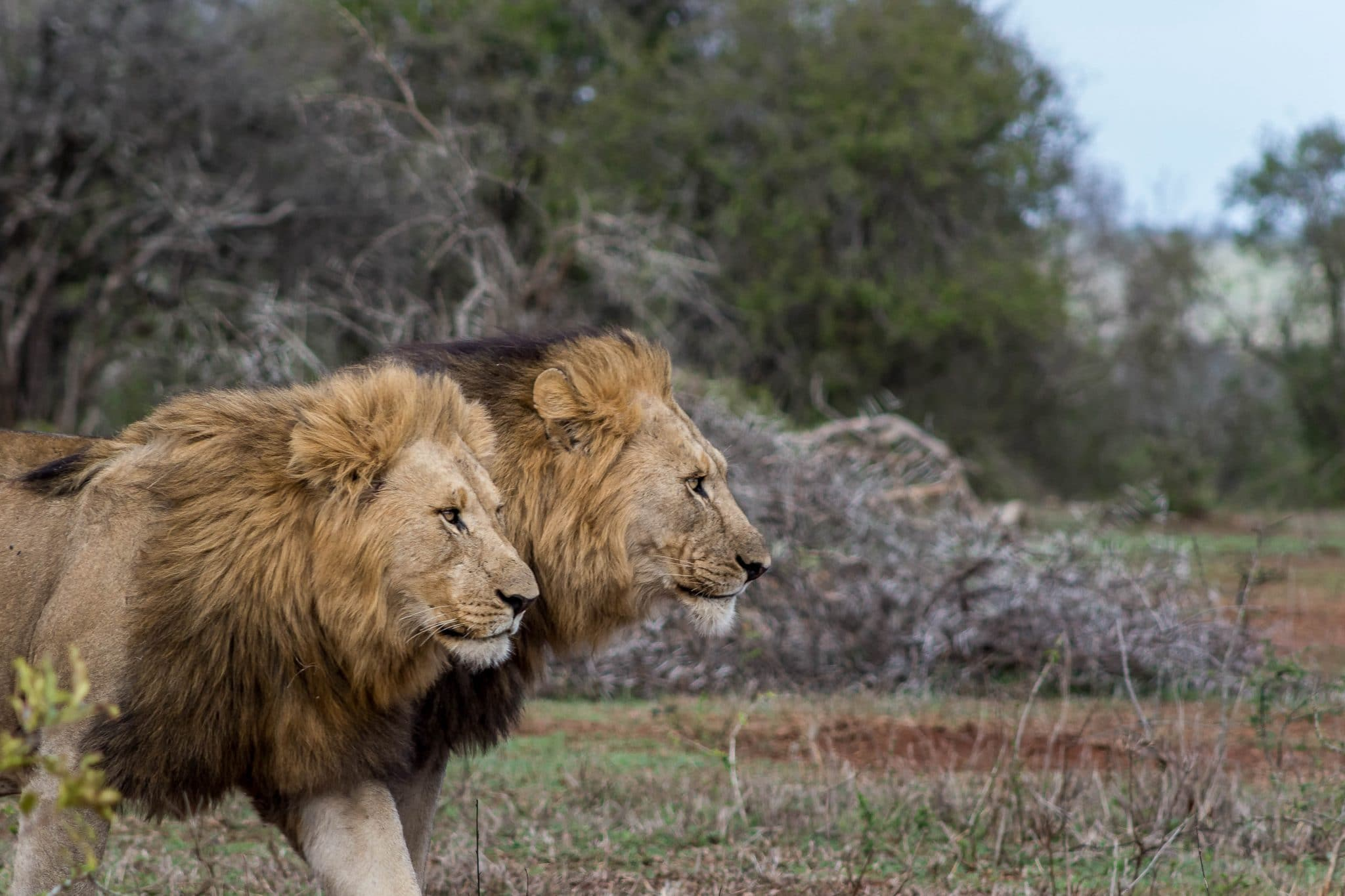 lions in hluhluwe
