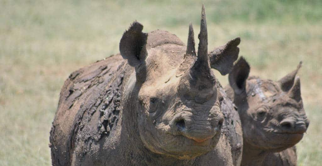 hluhluwe-imfolozi park animals black rhino