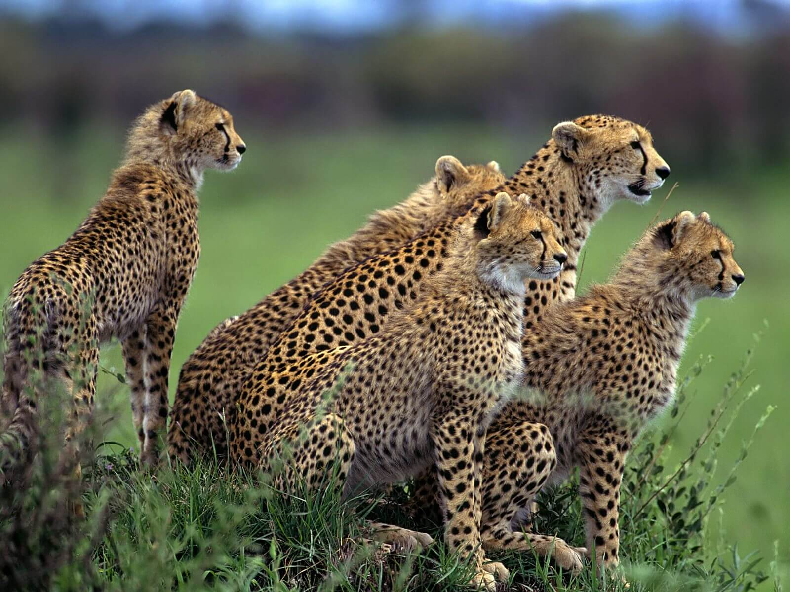 Cheetah Facts & Info, Pictures, Video and Much More about