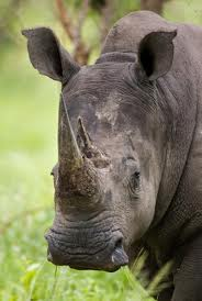 Rhino Poaching Latest