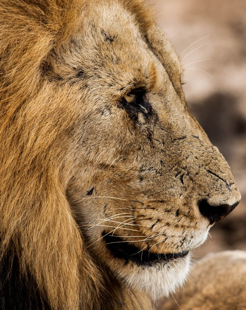 south african big 5 lion