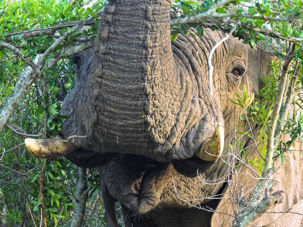 Elephant in thick bush Imfolozi