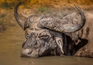 Cape Buffalo Facts
