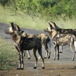 wild dogs in the umfolozi park