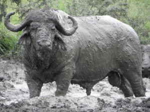 buffalo wallowing in mud