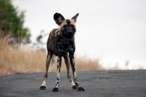 wild dogs in the Hluhluwe Umfolozi Park