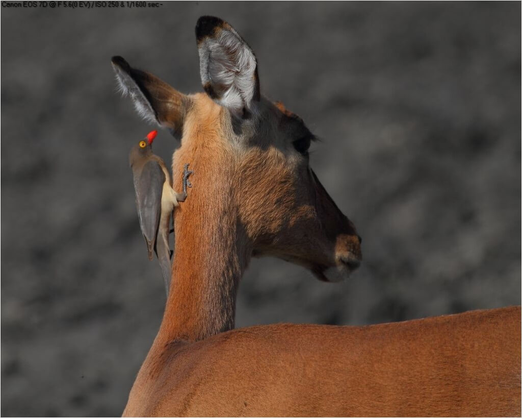 impala facts information and video
