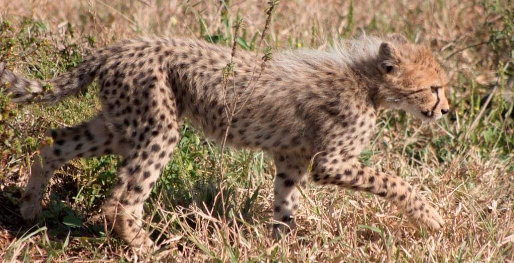 cheetah cub facts