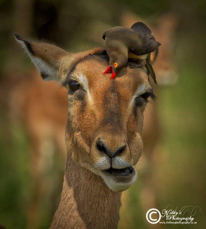 oxpecker on a impalla