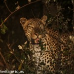 leopard st lucia