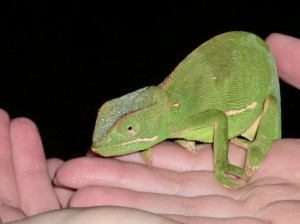 night drive safari chameleon