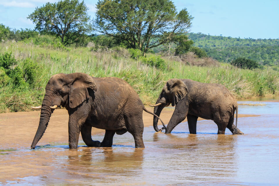 Elephants in hluhluwe