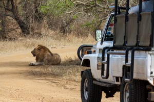 heritage tours & safaris lion while on safari in hluhluwe