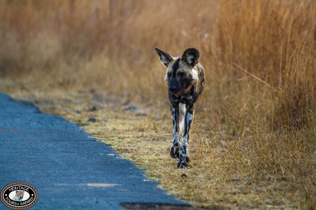 Wild Dogs of Umfolozi