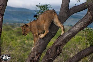 Hluhluwe Umfolozi Game Reserve Lion in a Tree
