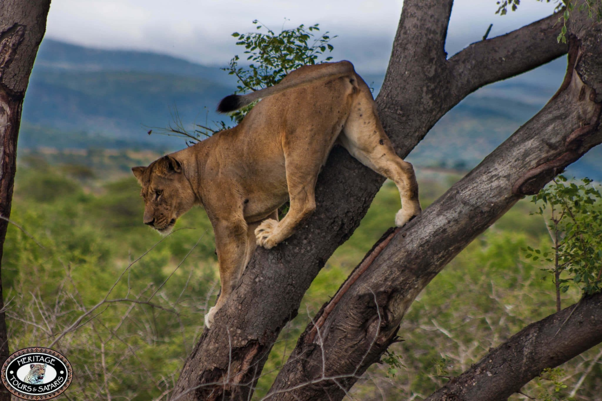 hluhluwe umfolozi lioness in tree