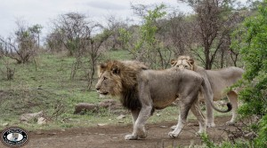 imfolozi game park lion