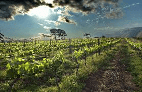 vineyards stellenbosch cape town