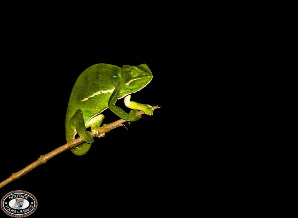 chameleon on night drive safari