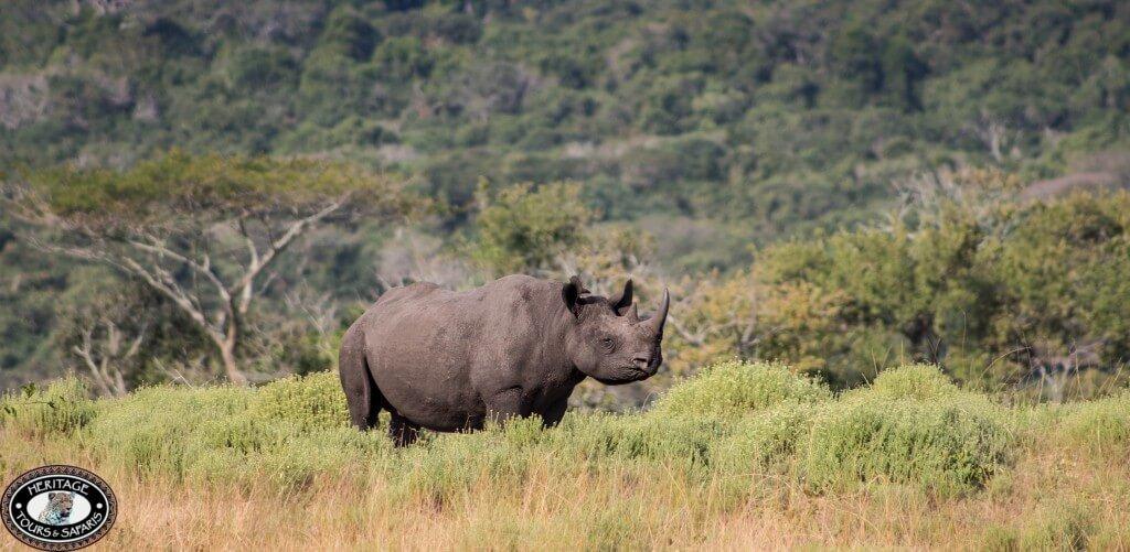 hluhluwe imfolozi black rhino