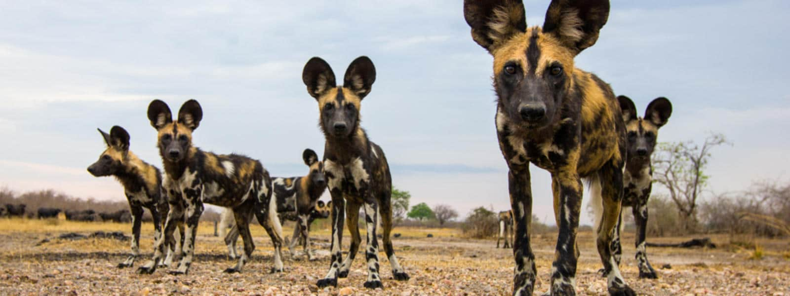 wild dogs african