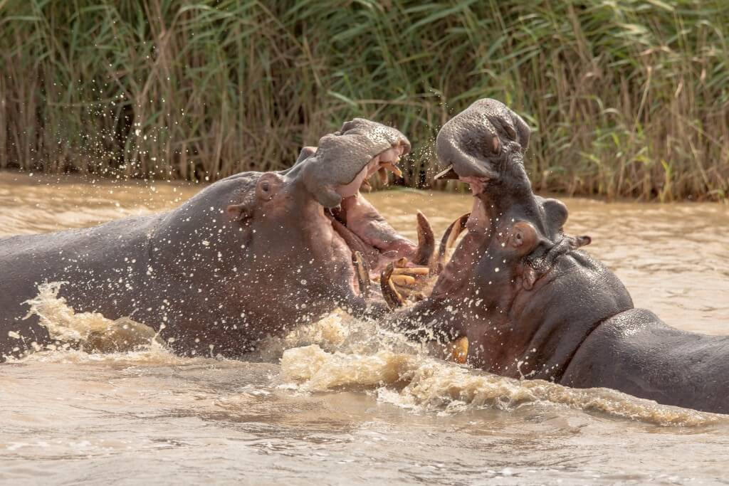 Hippo playing Durban Safaris