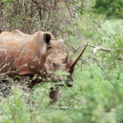 white rhino grazzing