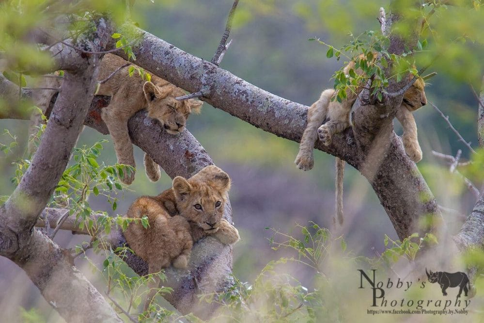 hluhluwe lions in trees
