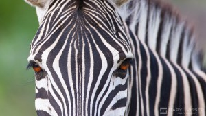 inquisitive hluhluwe umfolozi zebra