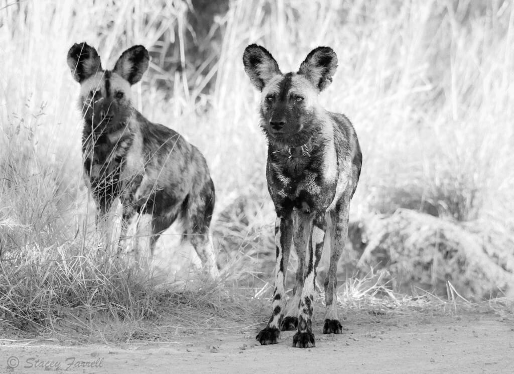 wild dogs south African safari