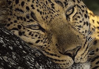 Hluhluwe Umfolozi Leopard Facts, Information, Pictures and Videos