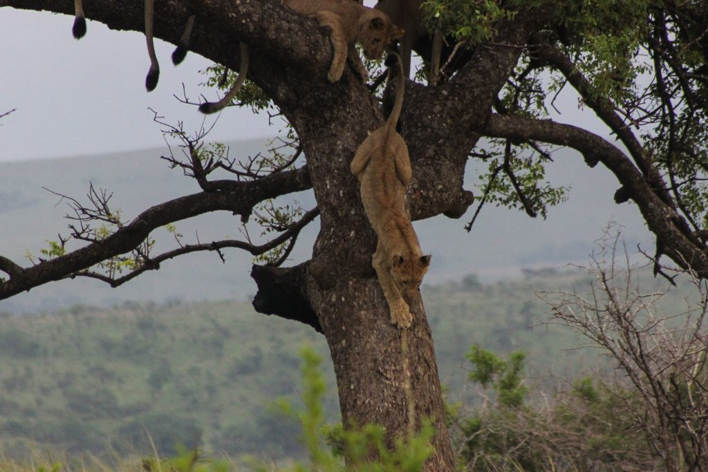 lions climbing out of tree