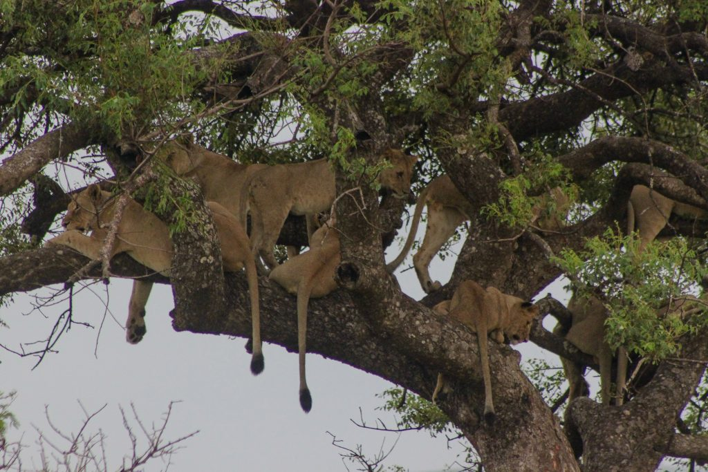 summer heat and lions in trees in kwazulu natal