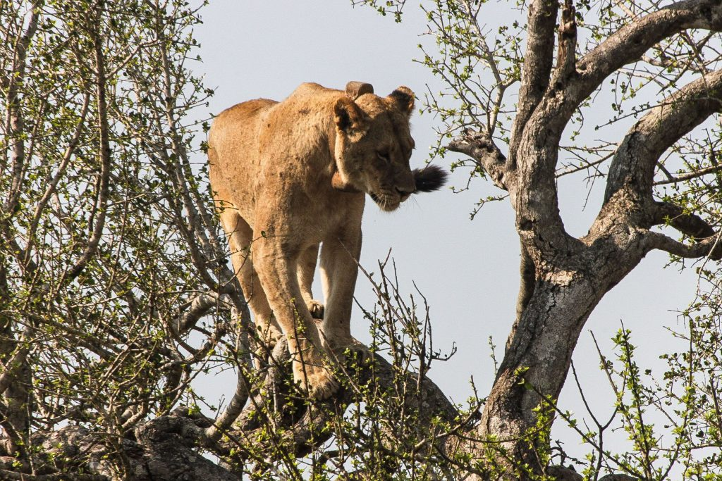 female-lion-climbs-tree-in-hluhluwe-umfolozi-game-reserve