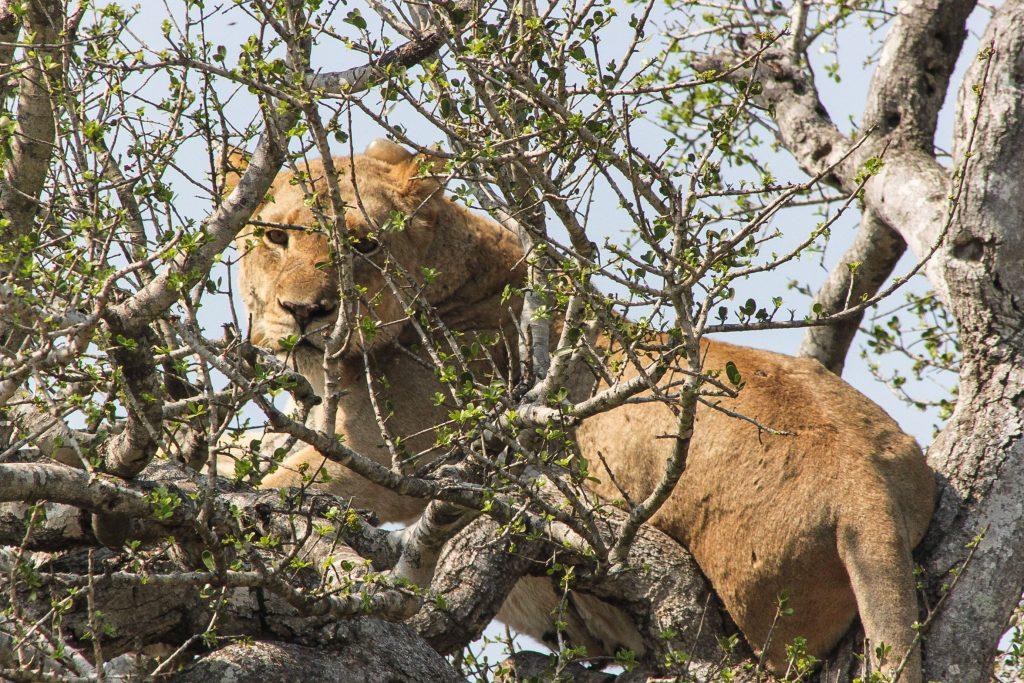 lions in trees hluhluwe