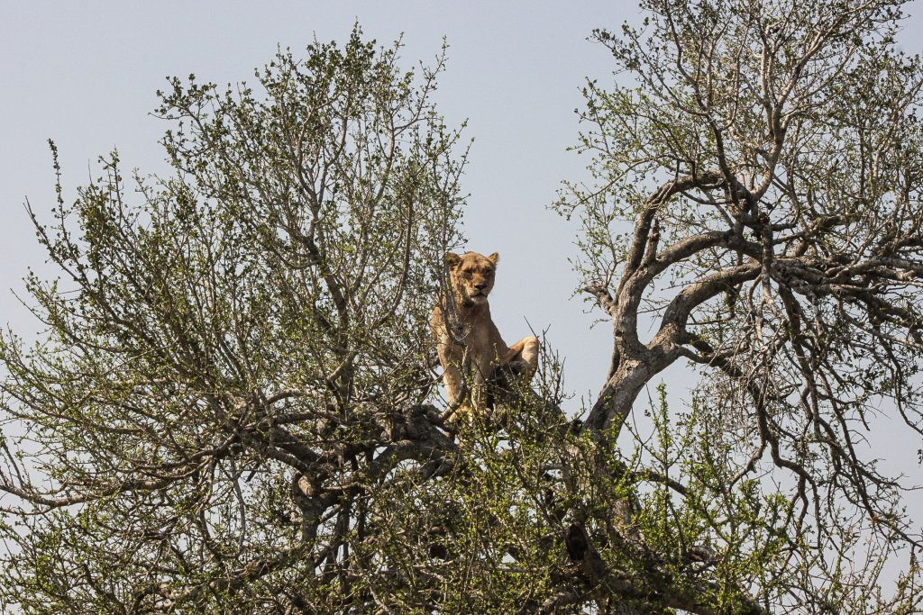 lion-climbs-tree-hluhluwe-game-reserve