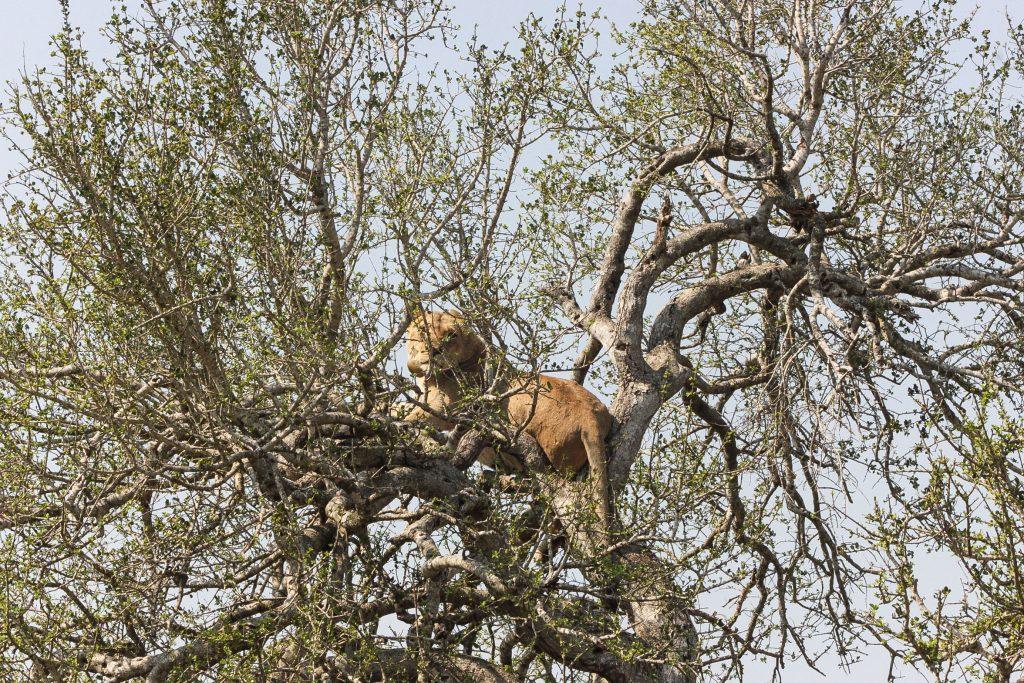 lion-in-tree-hluhluwe-game-reserve