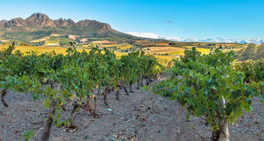 stellenbosch vineyards south africa
