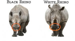 black and white big 5 rhino's