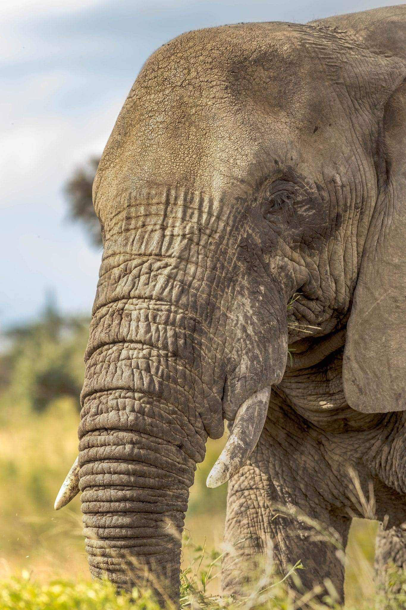 Elephant Information Facts Pictures Video Learn More Big 5 Info