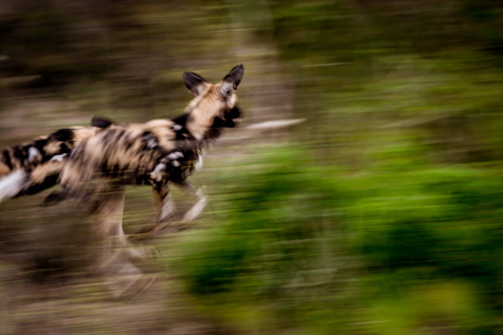 wild dogs on big 5 south african safari