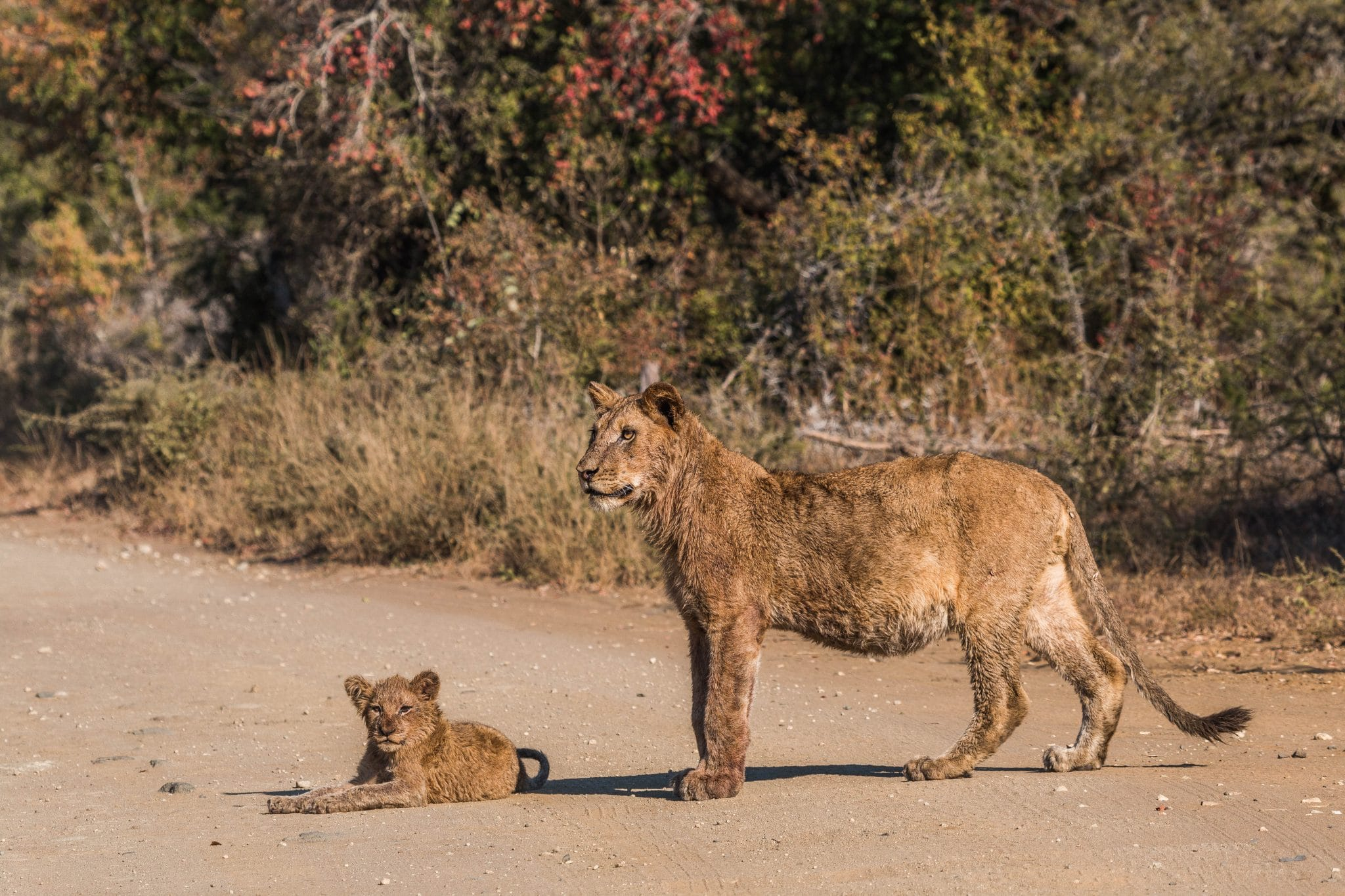 быть может, саванна львы охота видео порно фото инцеста