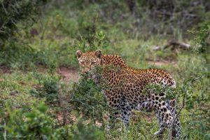 african big 5 leopard