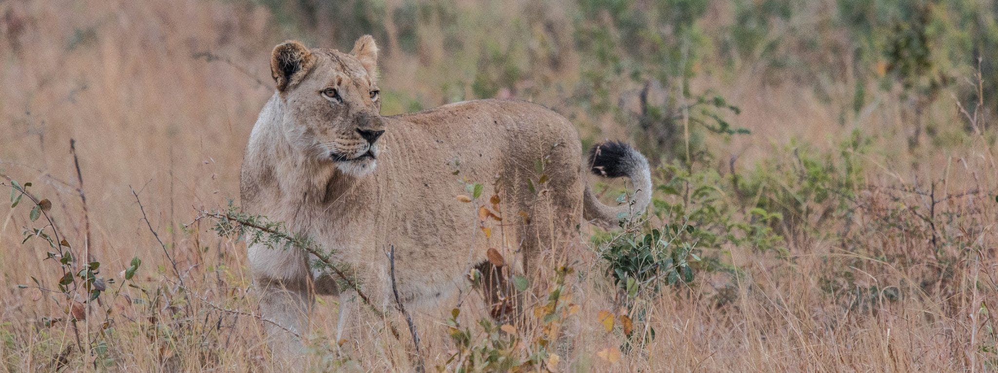 african big 5 lion facts