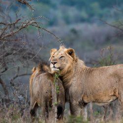 hluhluwe imfolozi park zululand game reserve