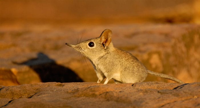 african small five elephant shrew