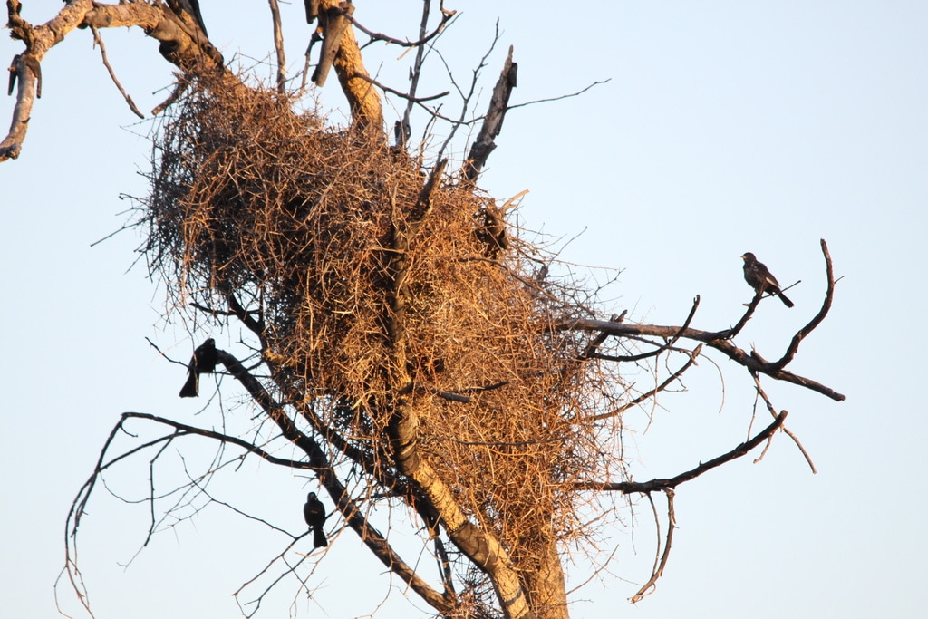 nest red billed buffalo weaver