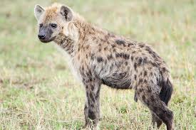 hyena spotted