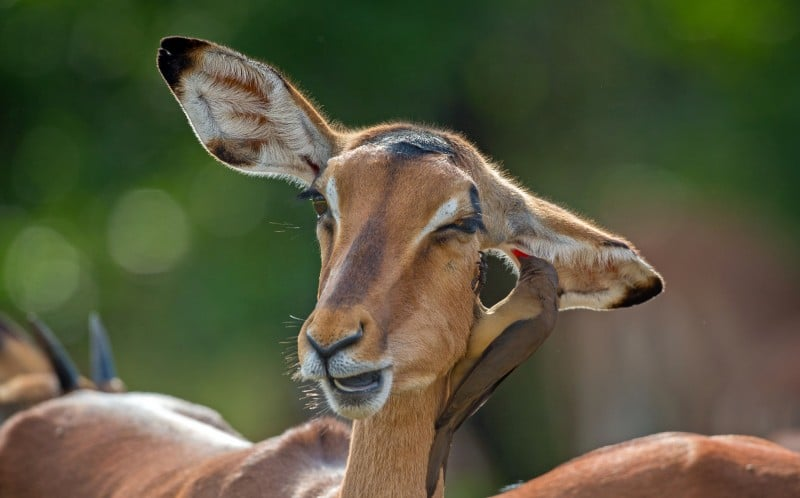 impala animal facts ewe